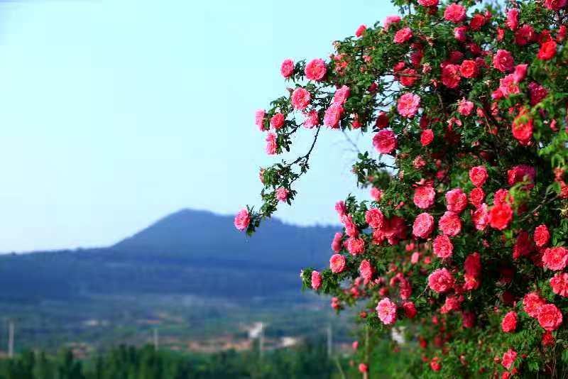 济南市市花增选活动专家论证会举行 同意推荐玫瑰为市花!