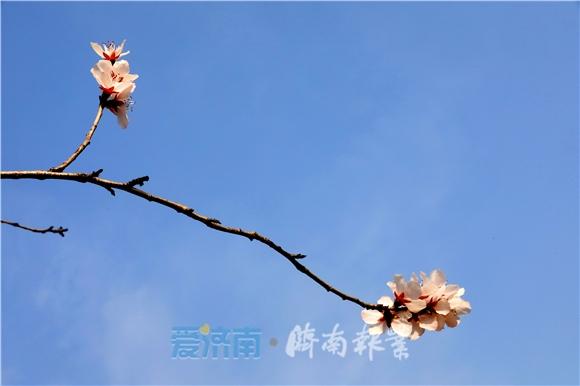 初春的济南 感受十里桃花开